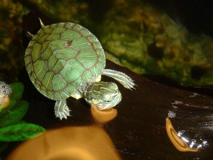 acquario tartarughe tartarughe come realizzare un