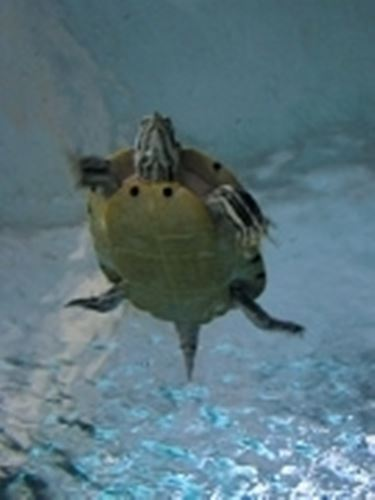 tartaruga allevamento