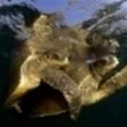 accoppiamento tartarughe marine
