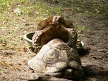 riproduzione tartarughe