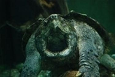tartaruga alligatore 2