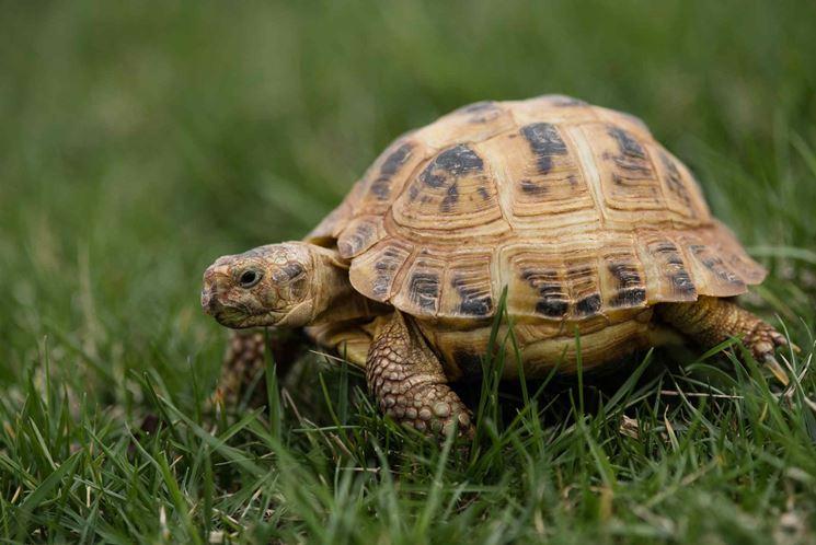 tartaruga di terra tartarughe caratteristiche delle