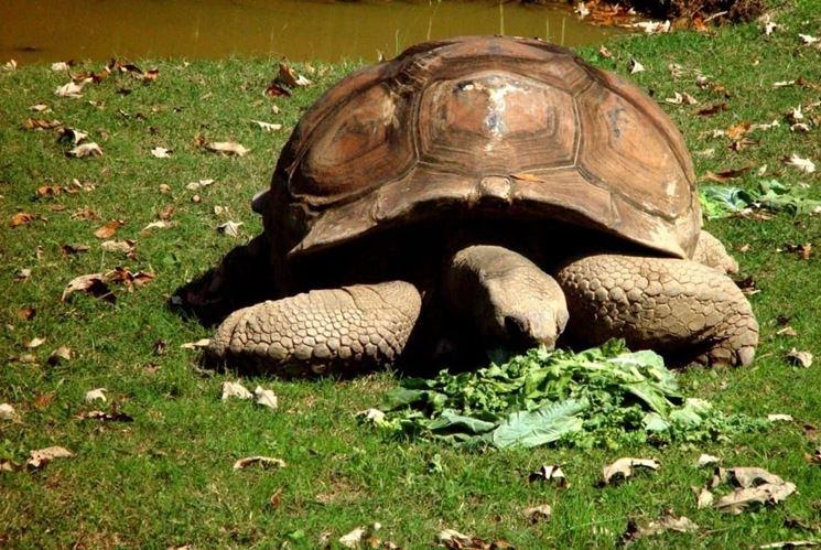 lattuga per tartaruga di terra