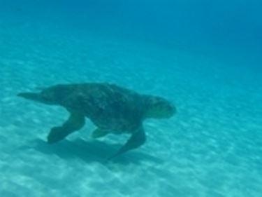 Tartaruga marina tartarughe for Temperatura tartarughe