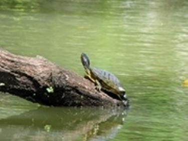 tartaruga orecchie rosse 2