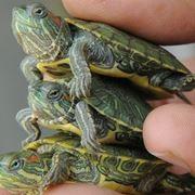 Esemplare di piccola tartaruga d'acqua