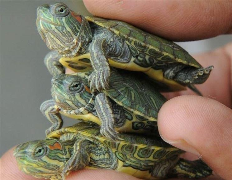 Tartarughe acqua dolce tartarughe tartarughe di acqua for Tartarughe appena nate