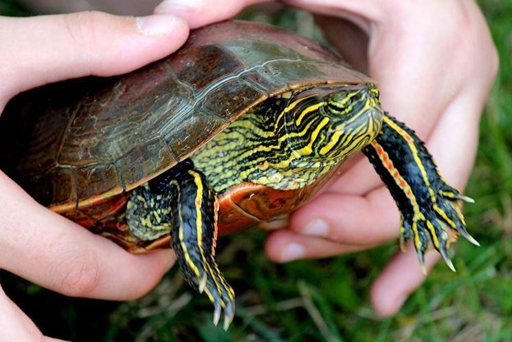 Tartaruga d'acqua dolce adulta