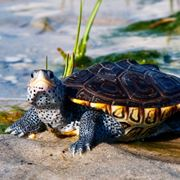 tartarughe d acqua dolce domestiche