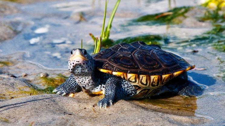 Tartarughe d 39 acqua dolce tartarughe caratteristiche for Acquario tartarughe prezzo