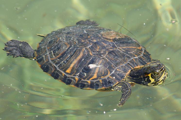 tartarughe d'acqua dolce nel loro habitat