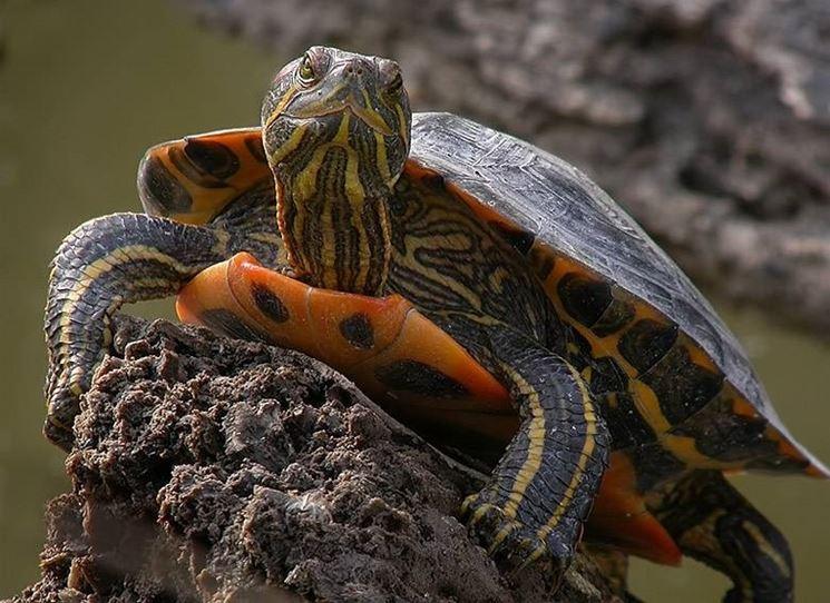 Tartarughe d 39 acqua dolce tartarughe caratteristiche for Estanque de tortugas