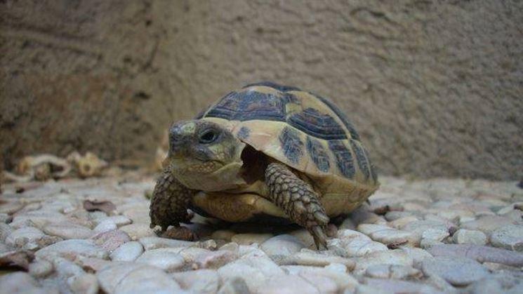 Tartarughe di terra tartarughe caratteristiche delle for Acquario tartarughe prezzo