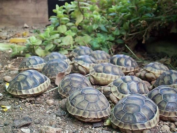 tartarughe di terra tartarughe caratteristiche delle