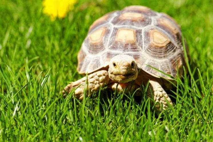 Tartarughe di terra tartarughe caratteristiche delle for Temperatura tartarughe