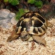 tartarughe di terra razze