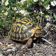 Una tartaruga di Mallorca