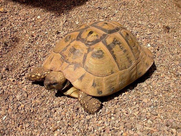 Una tartaruga femmina