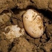 uova testuggine