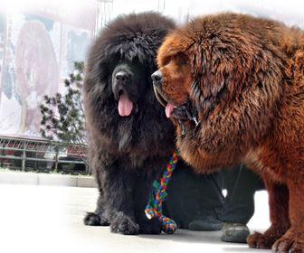 Cani Taglia Gigante