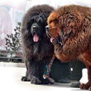 cane corso gigante