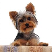 cani piccola taglia pelo corto