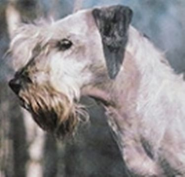 Foto terrier boemo