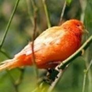 Allevatori canarini