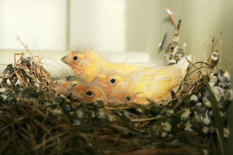 Canarina con i suoi piccoli