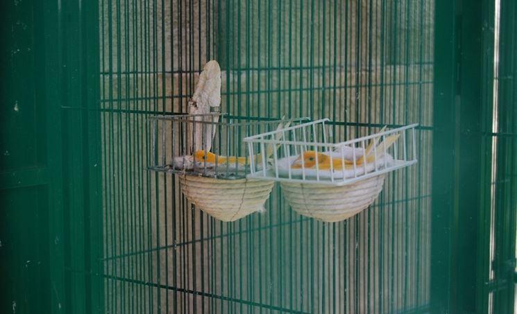 Voliera con canarine intente alla cova