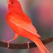 Bell'esemplare di canarino rosso