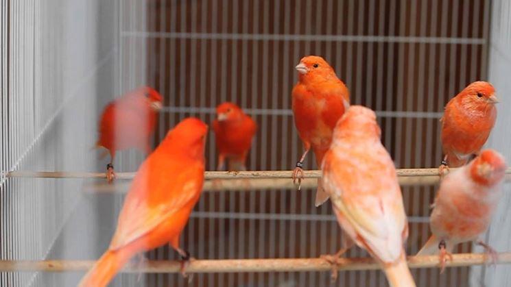 Canarini rossi in voliera