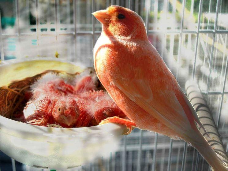 Canarina rossa con i piccoli