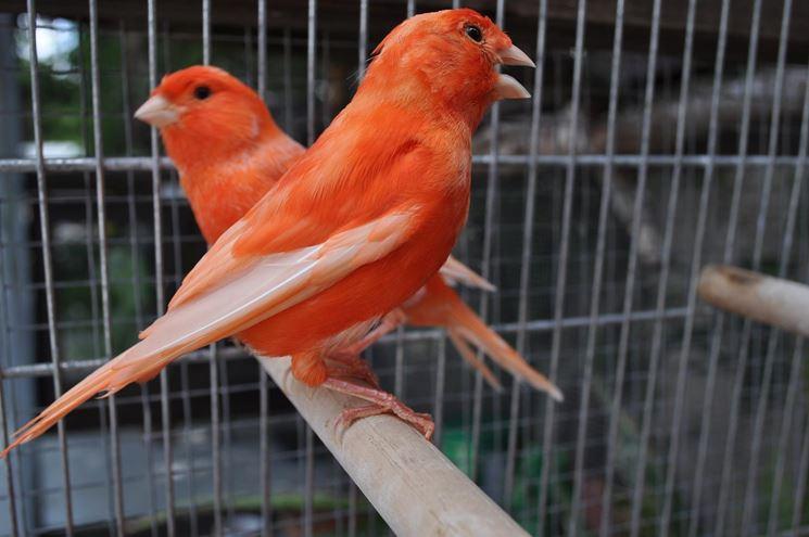 Coppia di canarini rossi