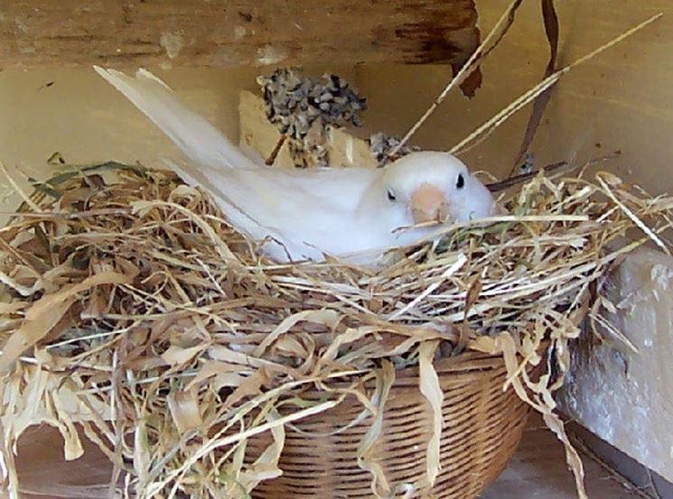 Canarina nel nido