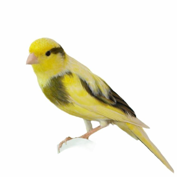 Esemplare di canarino