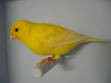 Un canarino dal bel colore giallo brillante