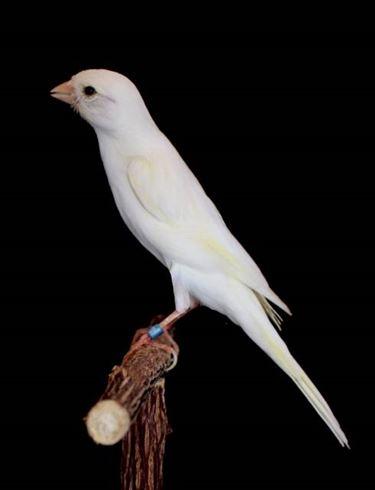 Un bel canarino bianco