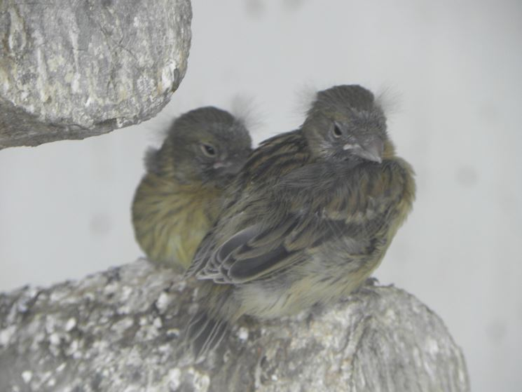 Due esemplari di canarini selvatici