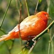 canarino arancione