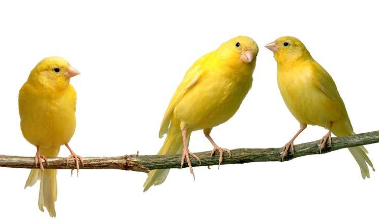 canto canarini