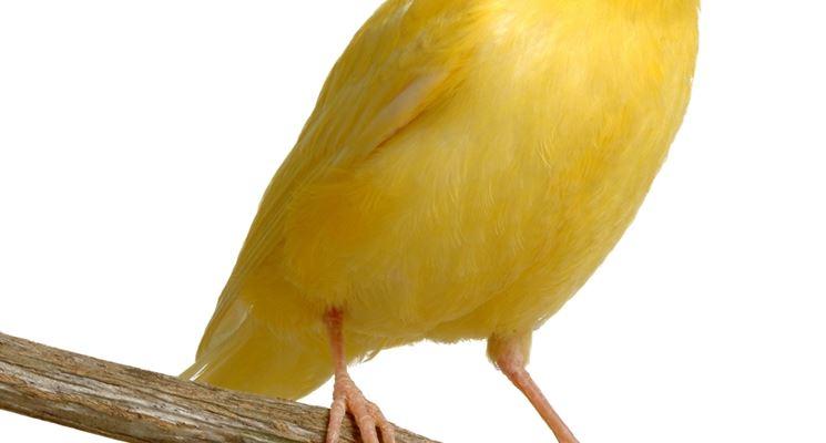Giovane canarino da canto