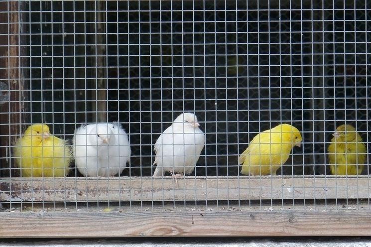 gabbia di canarini