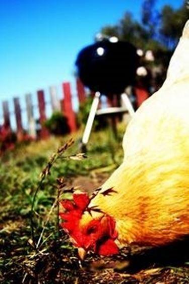 allevamento polli biologici