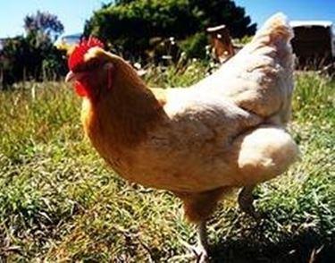 Allevamento polli da carne