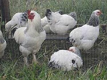 allevamento polli carne