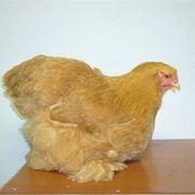 gallina cocincina