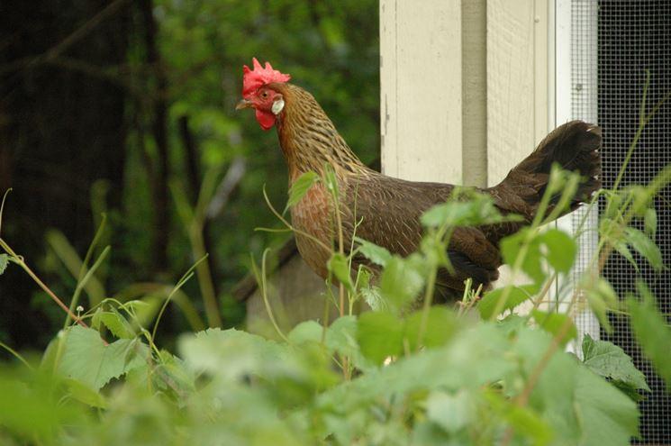 Esemplare di gallina livornese