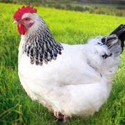 Esemplare di gallina comune