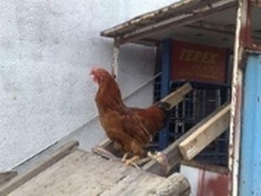 vendita galline